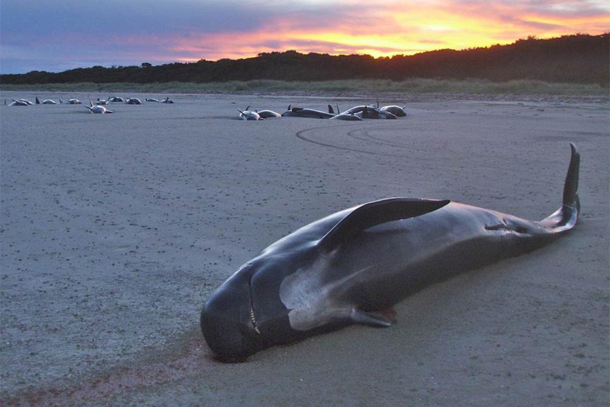 Közel száz delfin pusztult el Ausztrália partjainál | AZ1.HU